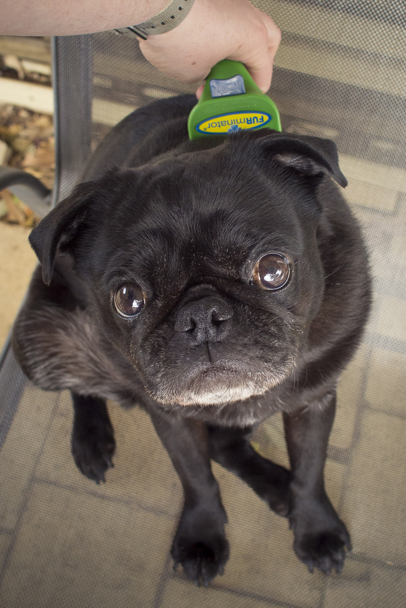 10 Essential Tools Grooming for Pugs Part 1   www.thepugdiary.com