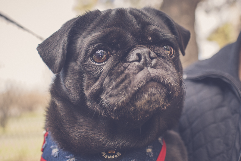 10 Photos Every Pug Parent Should Have of Their Pug | www.thepugdiary.com