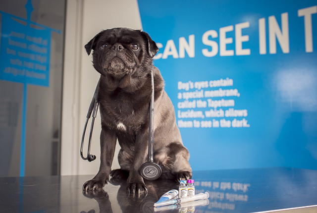 10 Questions to Ask Your Vet About Your Pug Part 2 | www.thepugdiary.com