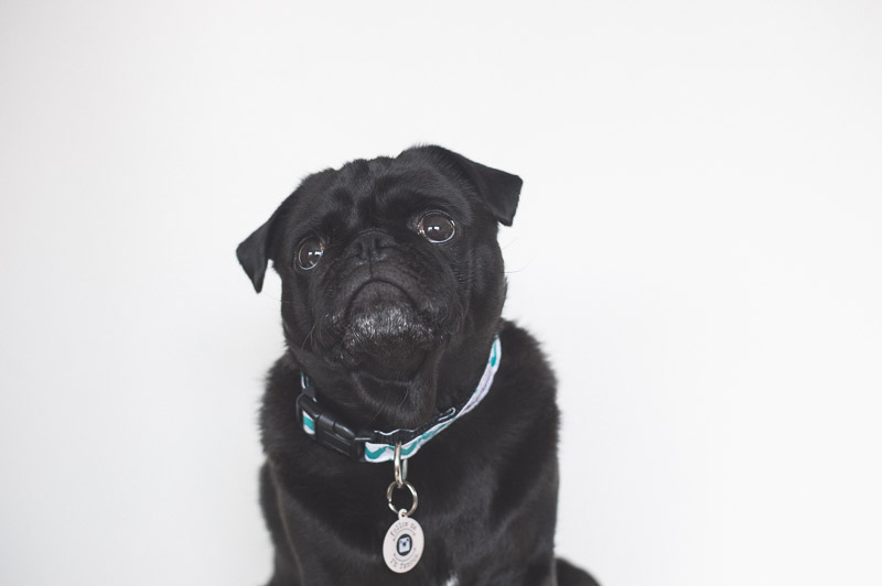 froid ID tag | www.thepugdiary.com