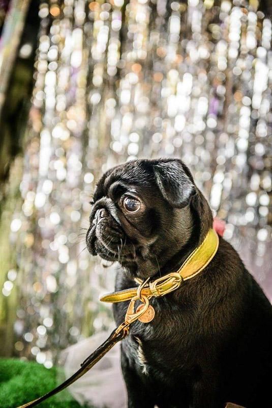 Nigella the Pug | www.thepugdiary.com