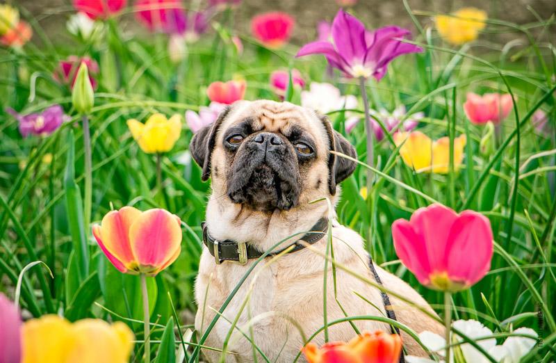 Social Pug Profile | www.thepugdiary.com