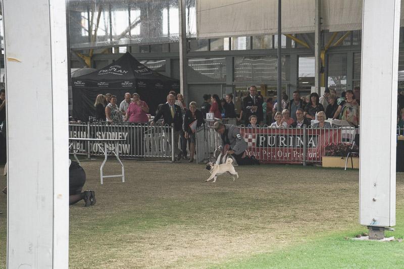 Sydney Royal Dog Show 2015 | www.thepugdiary.com