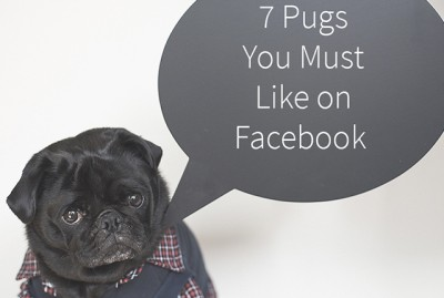 7 Pugs You Must Like on Facebook | www.thepugdiary.com