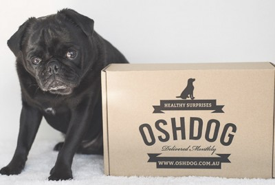 OshDog Review | www.thepugdiary.com