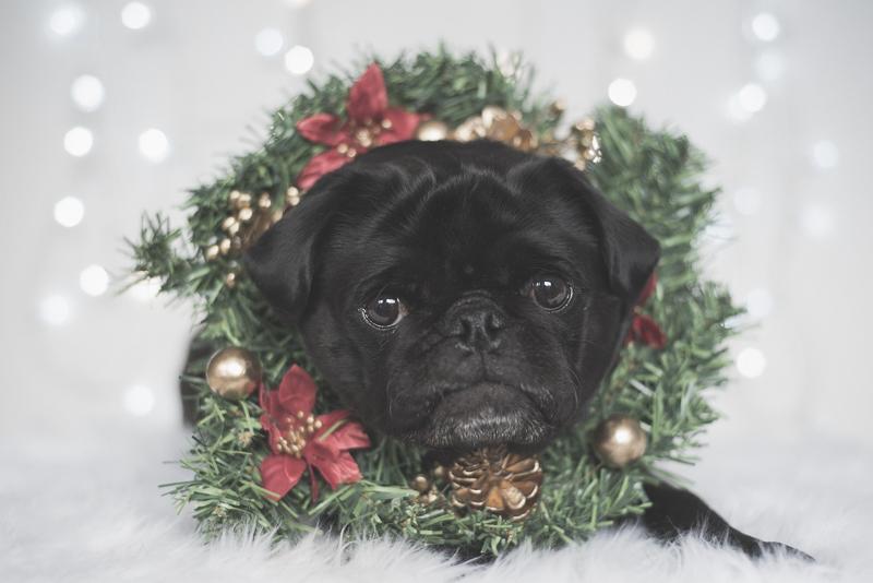 3 Tips for Taking Christmas Photos of Your Pug | www.thepugdiary.com