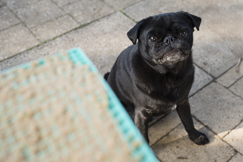 5 Enrichment Activities to Keep Your Pug's Mind Healthy | www.thepugdiary.com