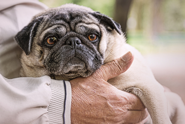 5 Reasons Why Pugs Make Great Therapy Dogs | www.thepugdiary.com