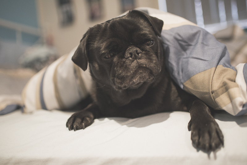 5 Things I Never Thought I'd Do as a Pug Owner | www.thepugdiary.com