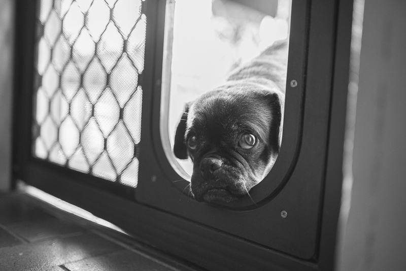 5 Things I Never Thought My Rescue Pug Would Do | www.thepugdiary.com