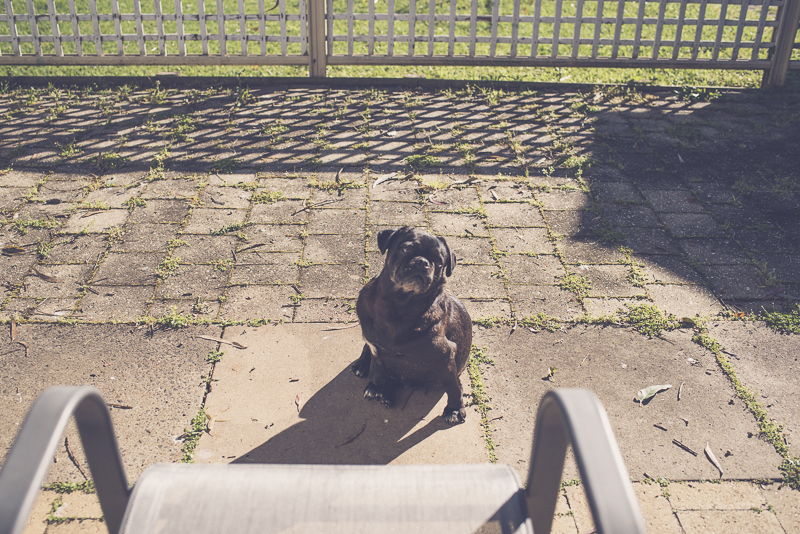 5 Things to Consider Before Adopting a Rescue Pug | www/thepugdiary.com
