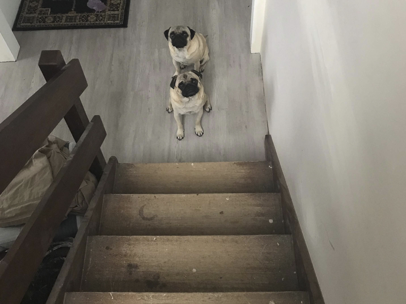5 Tips for House Renovating with Pugs | www.thepugdiary.com