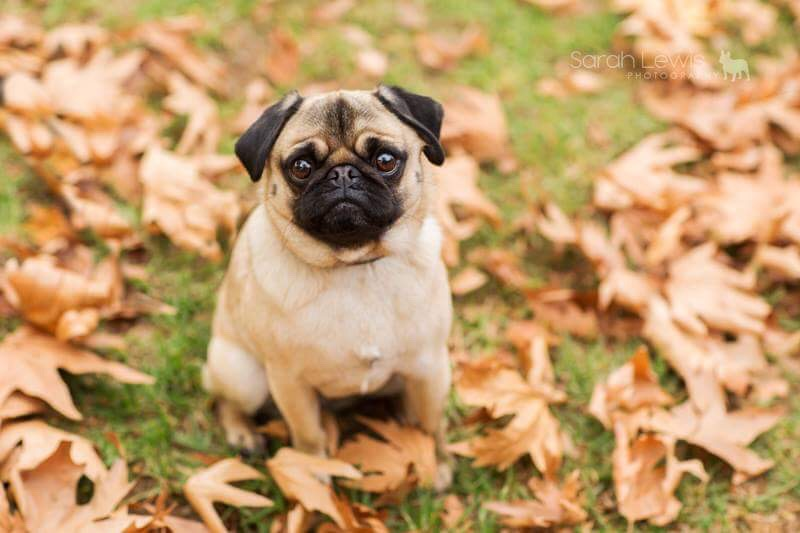 5 Tips for Autumn Photos with Your Pug | www.thepugdiary.com