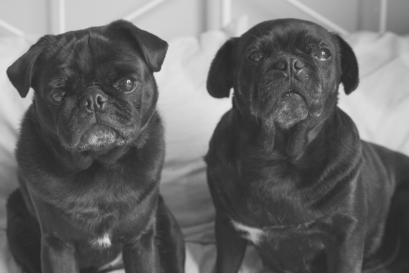 7 Rainy Day Activities for Your Pug   www.thepugdiary.com
