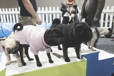 A Pug's Day Out at A Pooch Affair Canberra | www.thepugdiary.com