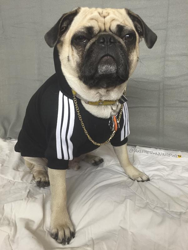 Axl's Social Pug Profile | www.thepugdiary.com