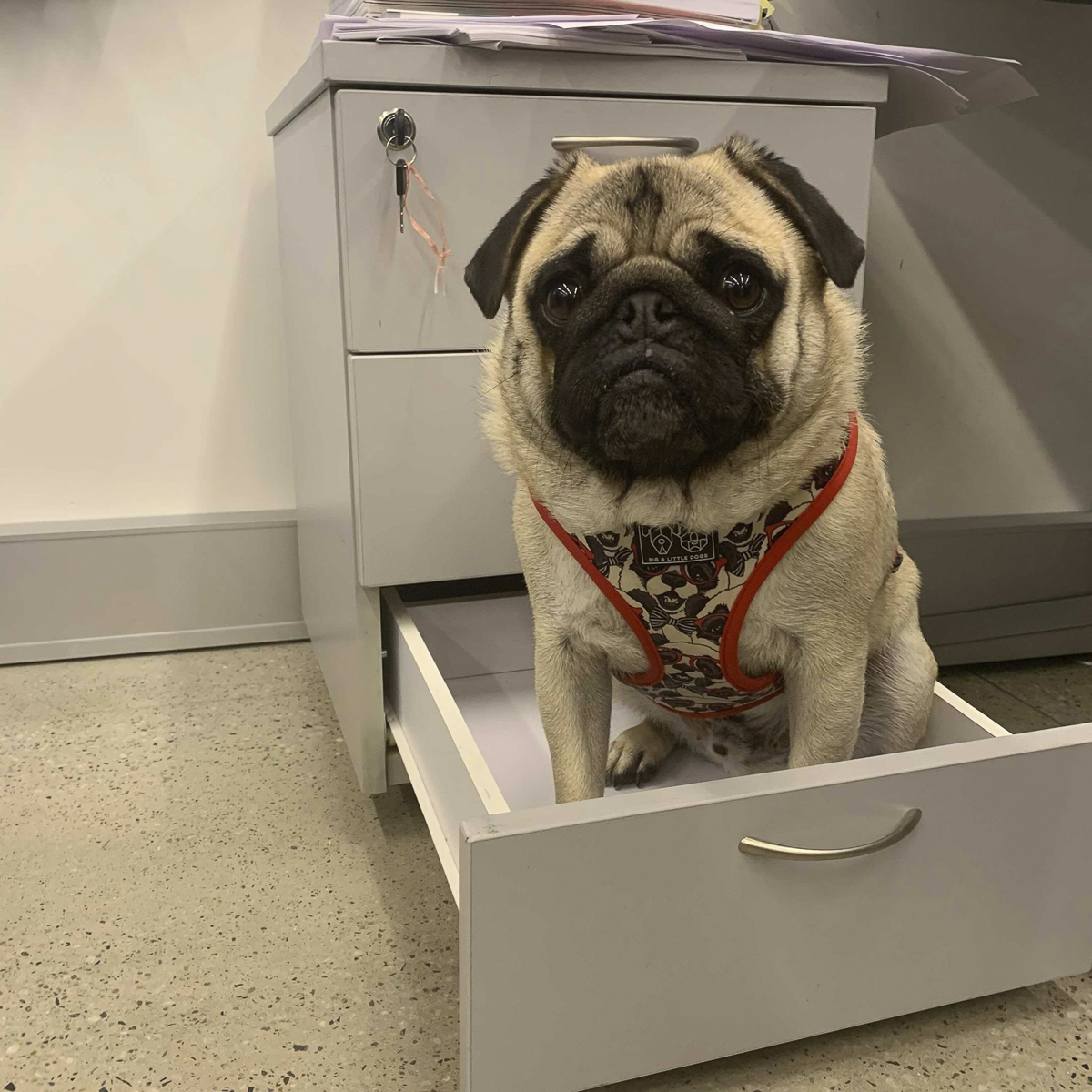 The Benefits of Pugs in the Workplace | www.thepugdiary.com