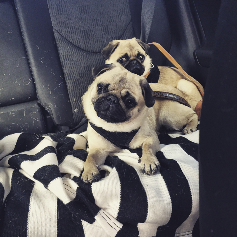 Biscuit & Pikelet   www.thepugdiary.com