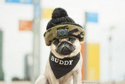 Buddy's Social Pug Profile | www.thepugdiary.com