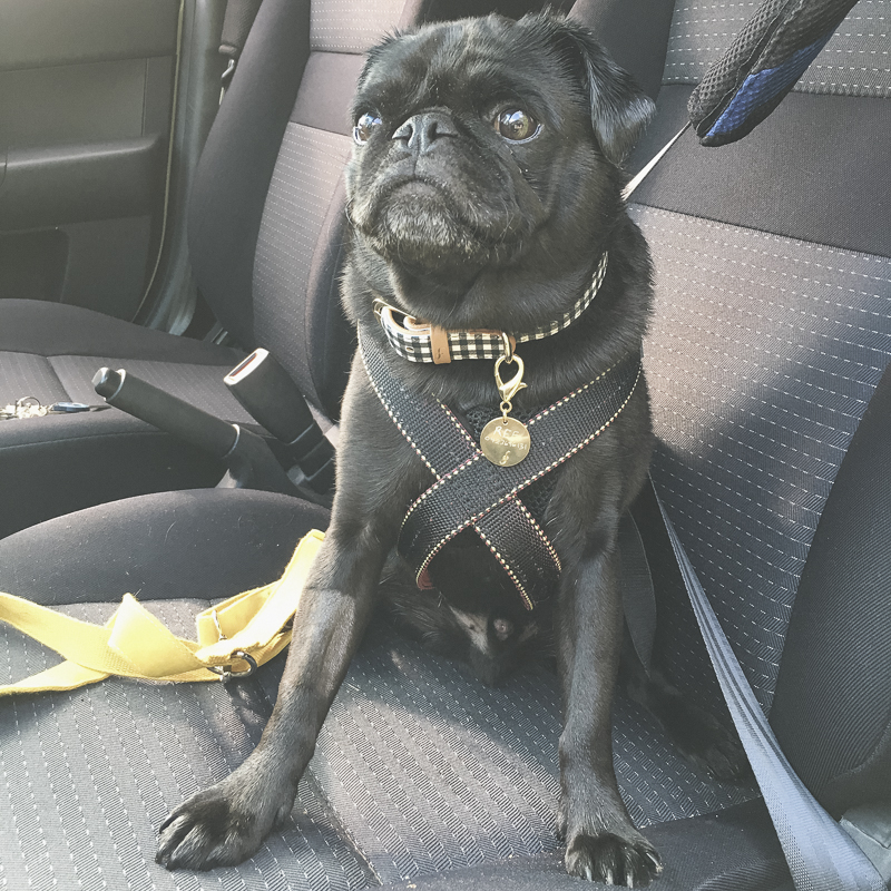 Car Safety Tips for Travelling with Your Pug | www.thepugdiary.com