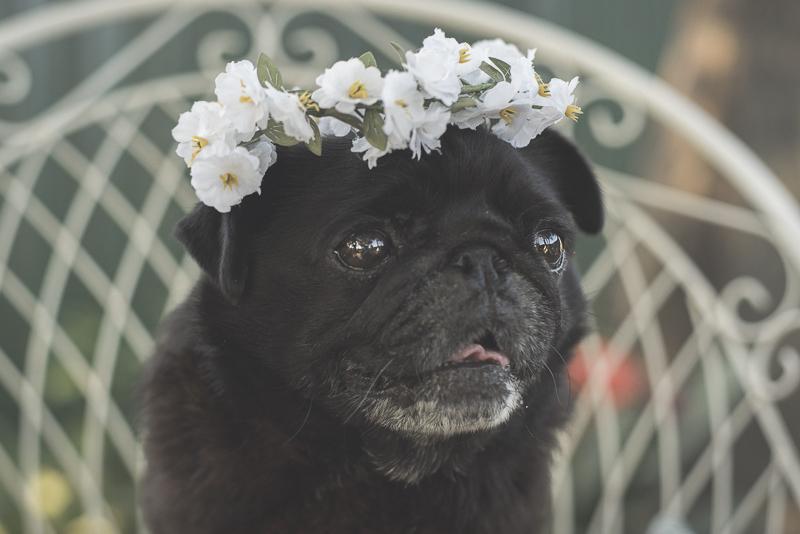 Charlotte's Pug Photography Session | www.thepugdiary.com