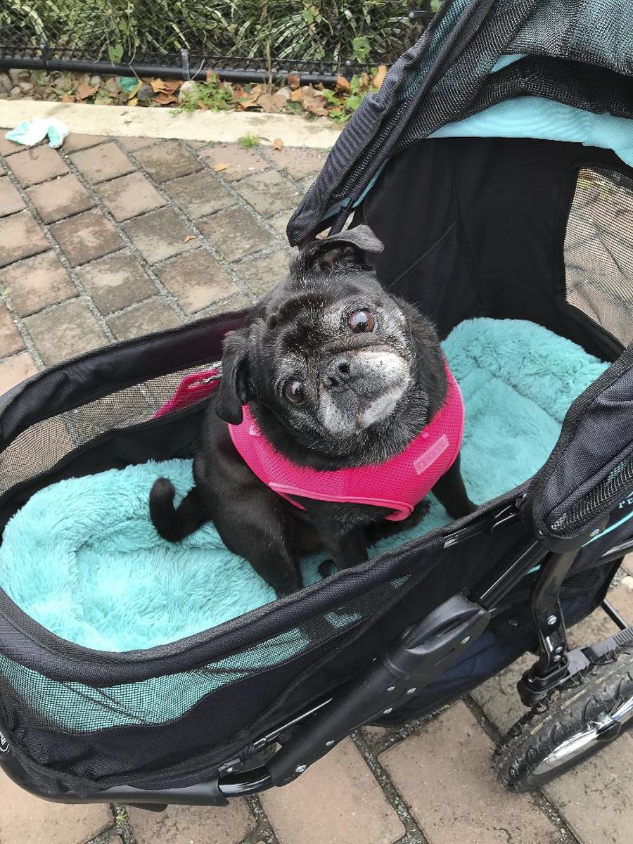Clover's Social Pug Profile | www.thepugdiary.com