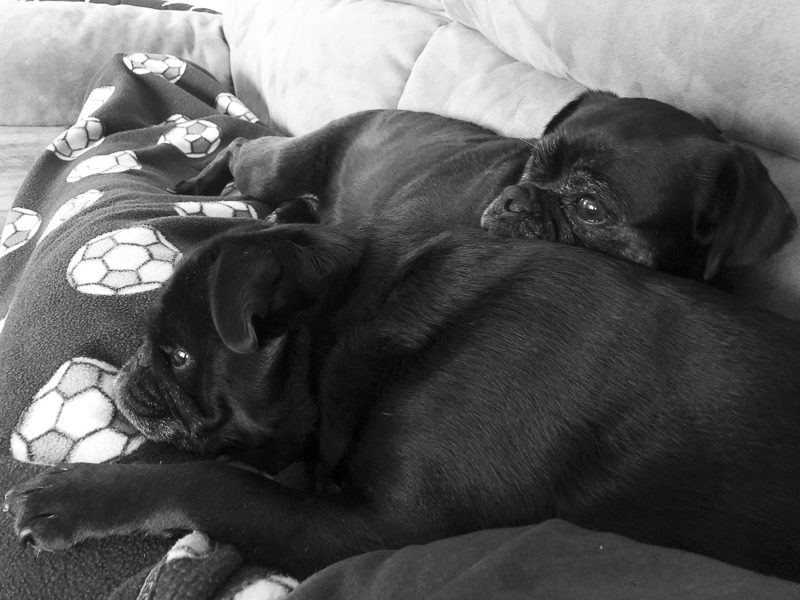 Confessions of a Pug Mum: Why I Chose to Get a Second Pug | www.thepugdiary.com