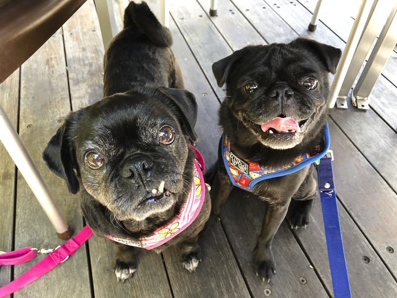Confessions of a Pug Mum: Why I Chose to Get a Second Pug   www.thepugdiary.com
