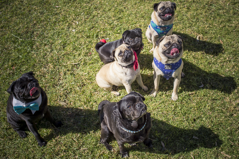Confessions of a Pug Mum: A Pug Party | www.thepugdiary.com