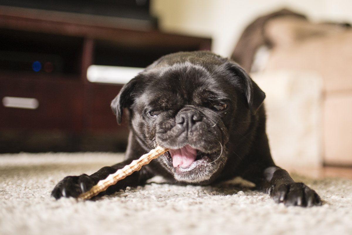 Confessions of a Pug Mum: Dental Hygiene for Pugs