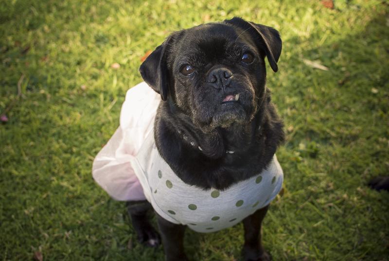 Confessions of a Pug Mum: Dressing Pugs Up | www.thepugdiary.com