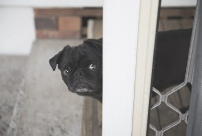 Confessions of a Pug Mum: Fears of Owning a Pug | www.thepugdiary.com