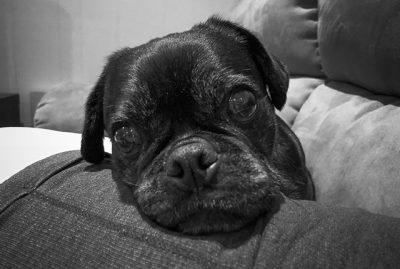 Confessions of a Pug Mum: I Have Demanding Pugs | www.thepugdiary.com