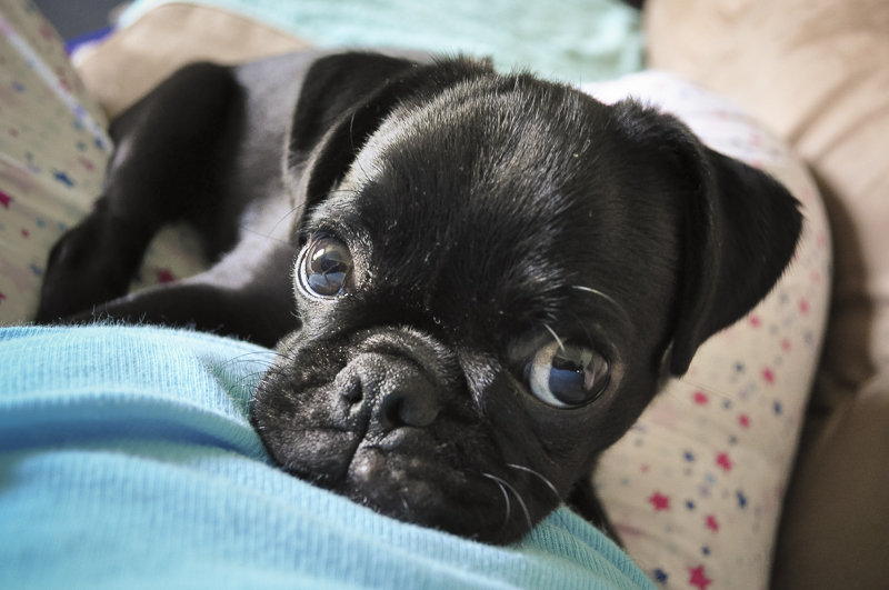 Confessions of a Pug Mum: I was so Naive about Pugs | www.thepugdiary.com