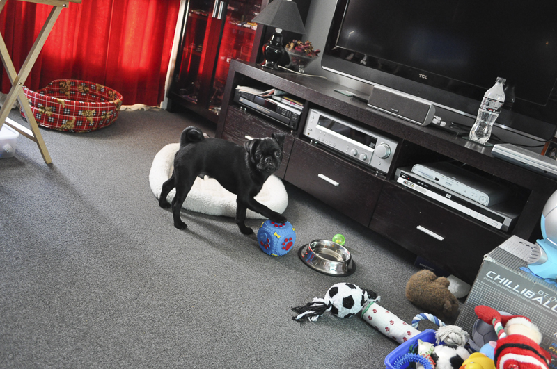 Confessions of a Pug Mum: I was so Naive about Pugs   www.thepugdiary.com