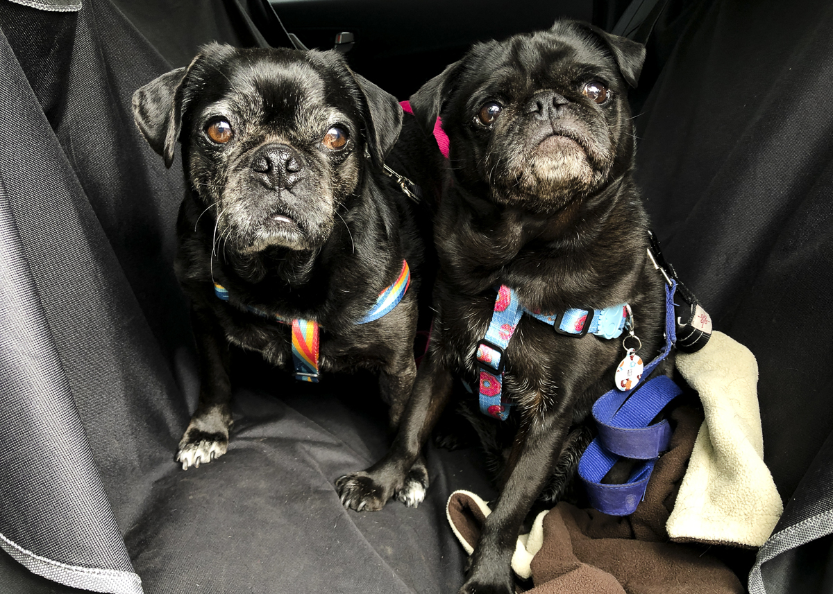 Confessions Of A Pug Mum Safe Car Travel For Pugs The