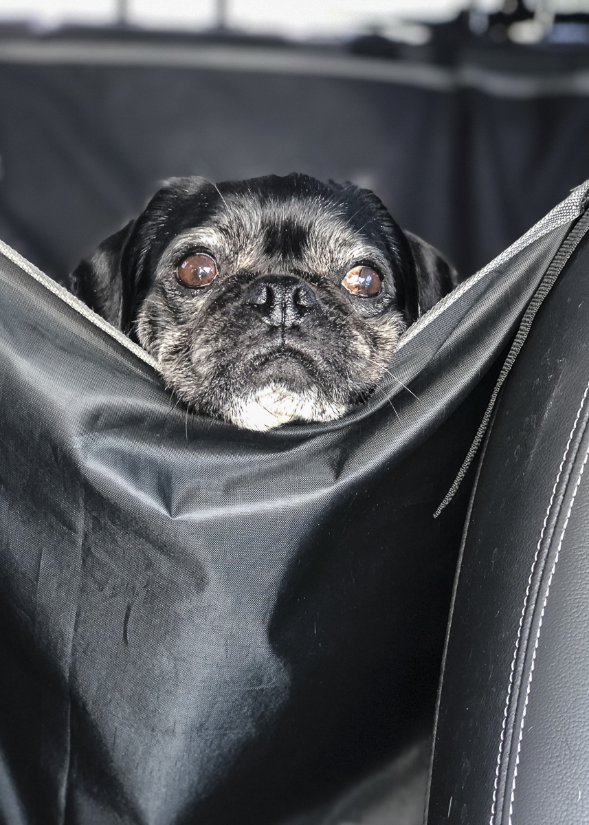 Confessions of a Pug Mum: Safe Car Travel For Pugs | www.thepugdiary.com