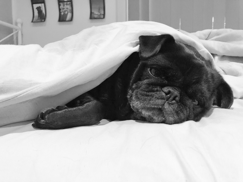 Confessions of a Pug Mum: Why My Pugs Sleep in My Bed | www.thepugdiary.com