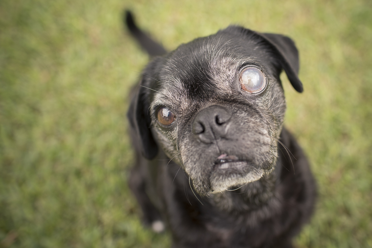 Confessions of a Pug Mum: Dealing with Eye Problems in Pugs | www.thepugdiary.com