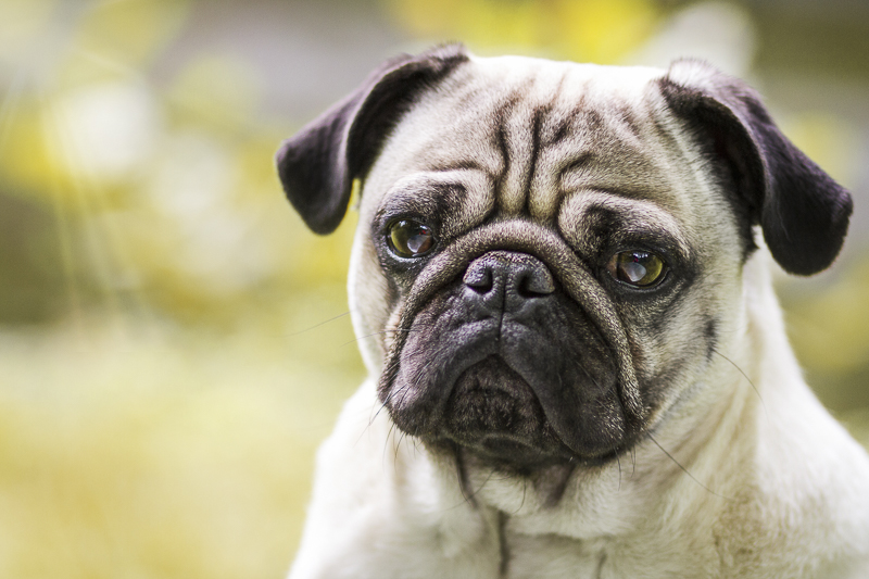 10 Awesome Facts About Pugs | www.thepugdiary.com