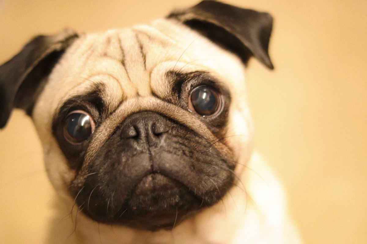 Doug and Dory's Social Pug Profile | www.thepugdiary.com