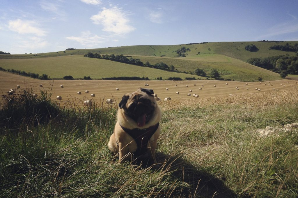 Edwina's Social Pug Profile | www.thepugdiary.com