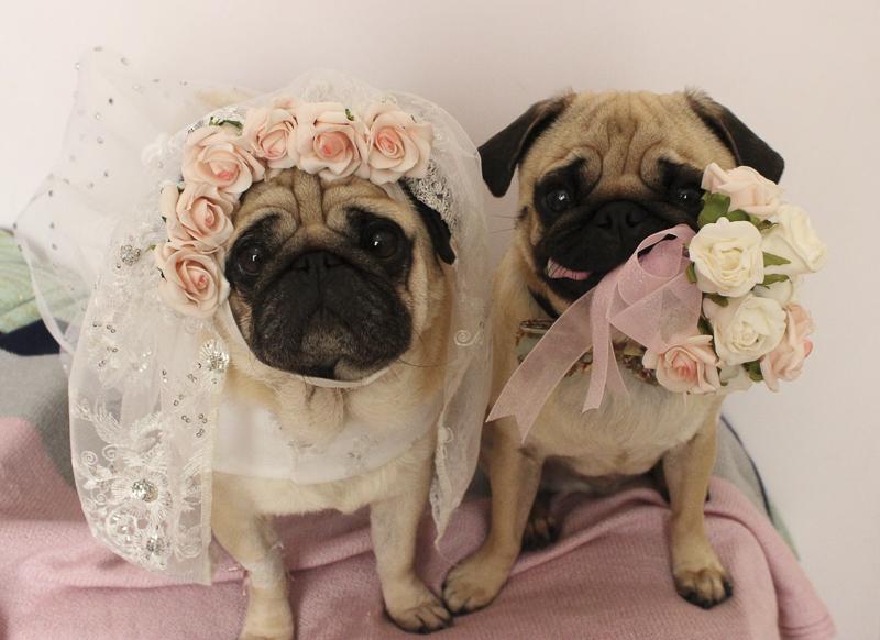 Ellie & Eric's Pug Parent Profile | www.thepugdiary.com