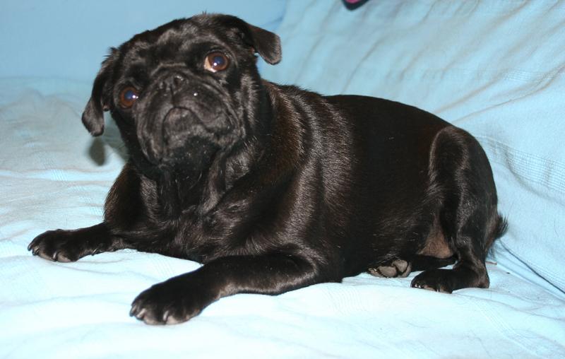 Erykah's Social Pug Profile | www.thepugdiary.com