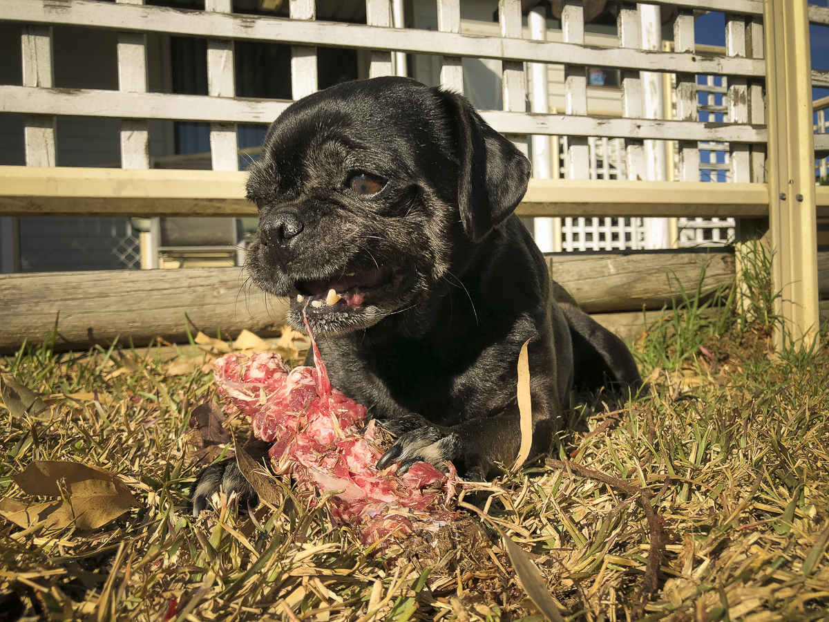 Fasting Pugs: Can it be Done?   www.thepugdiary.com