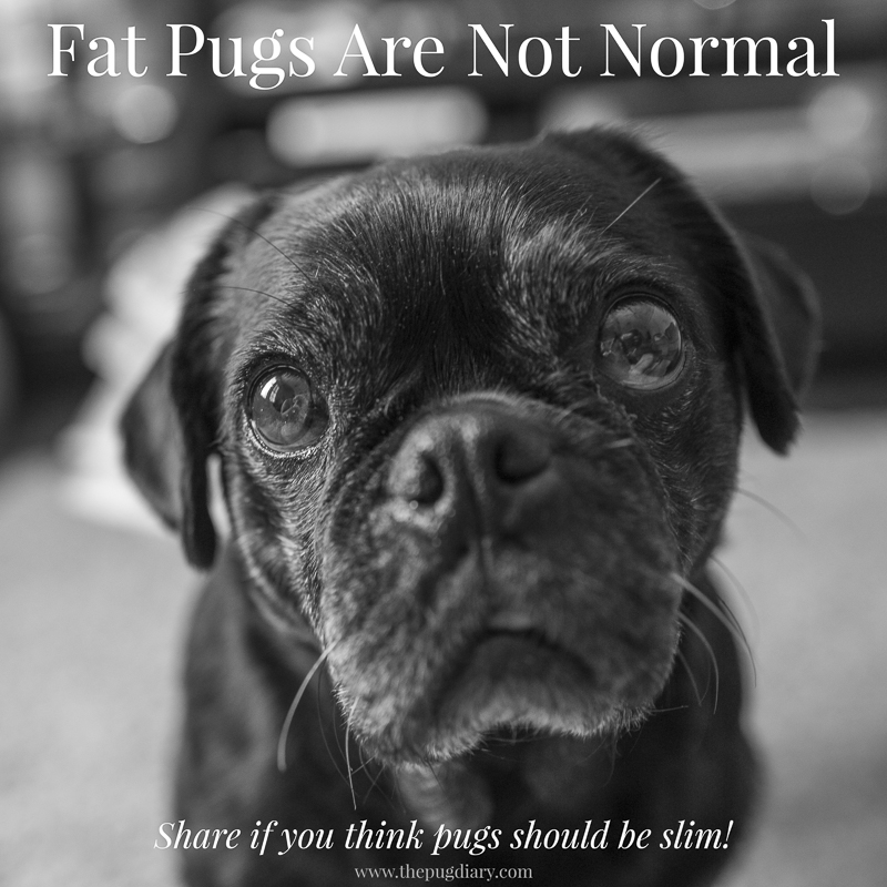 A Fat Pug is Not Normal | www.thepugdiary.com