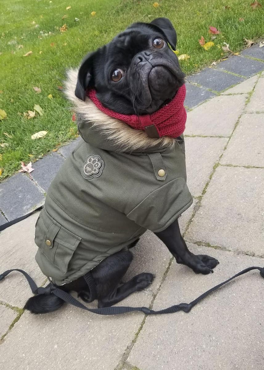 Ferguson's Social Pug Profile | www.thepugdiary.com