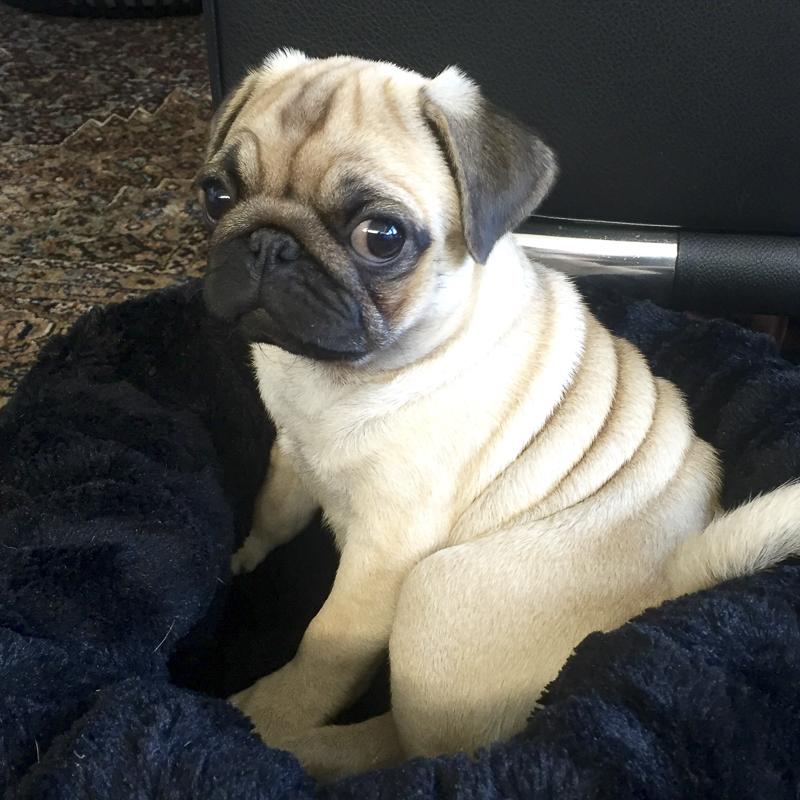 Fien + Rosie's Social Pug Profile | www.thepugdiary.com