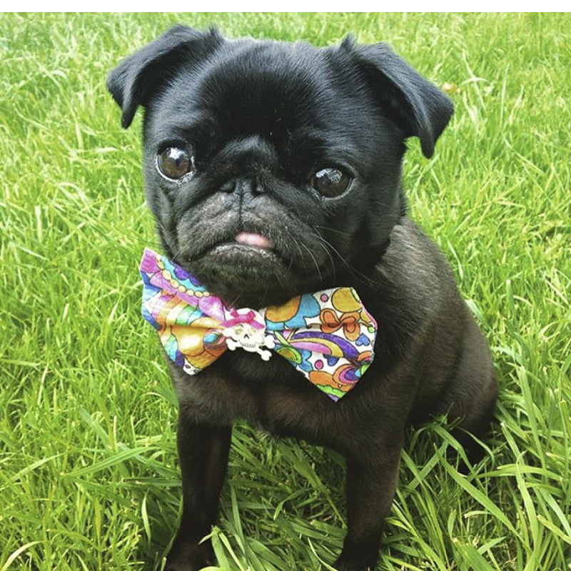 Flossie's Social Pug Profile | www.thepugdiary.com