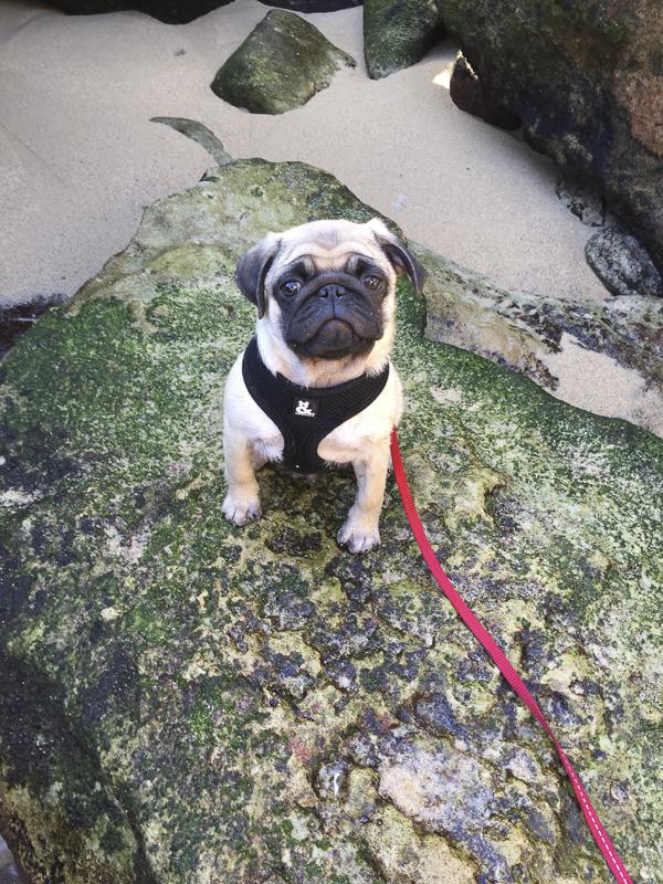 Franklin's Social Pug Profile | www.thepugdiary.com